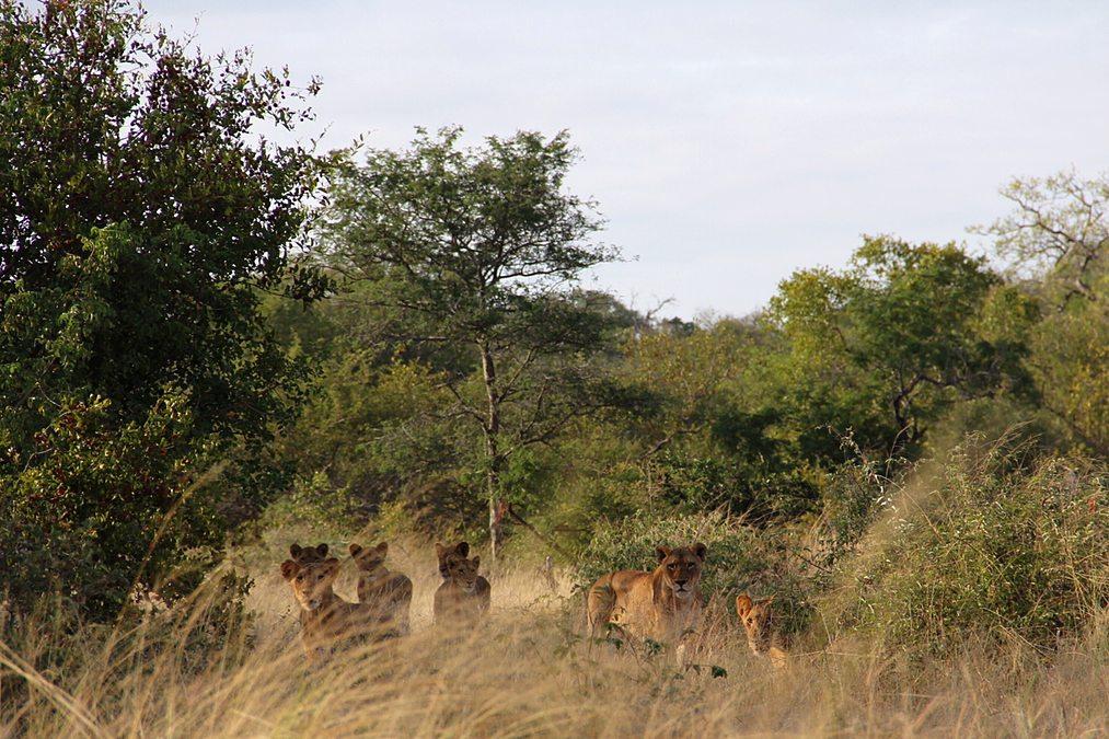 Leoas caçando durante safári
