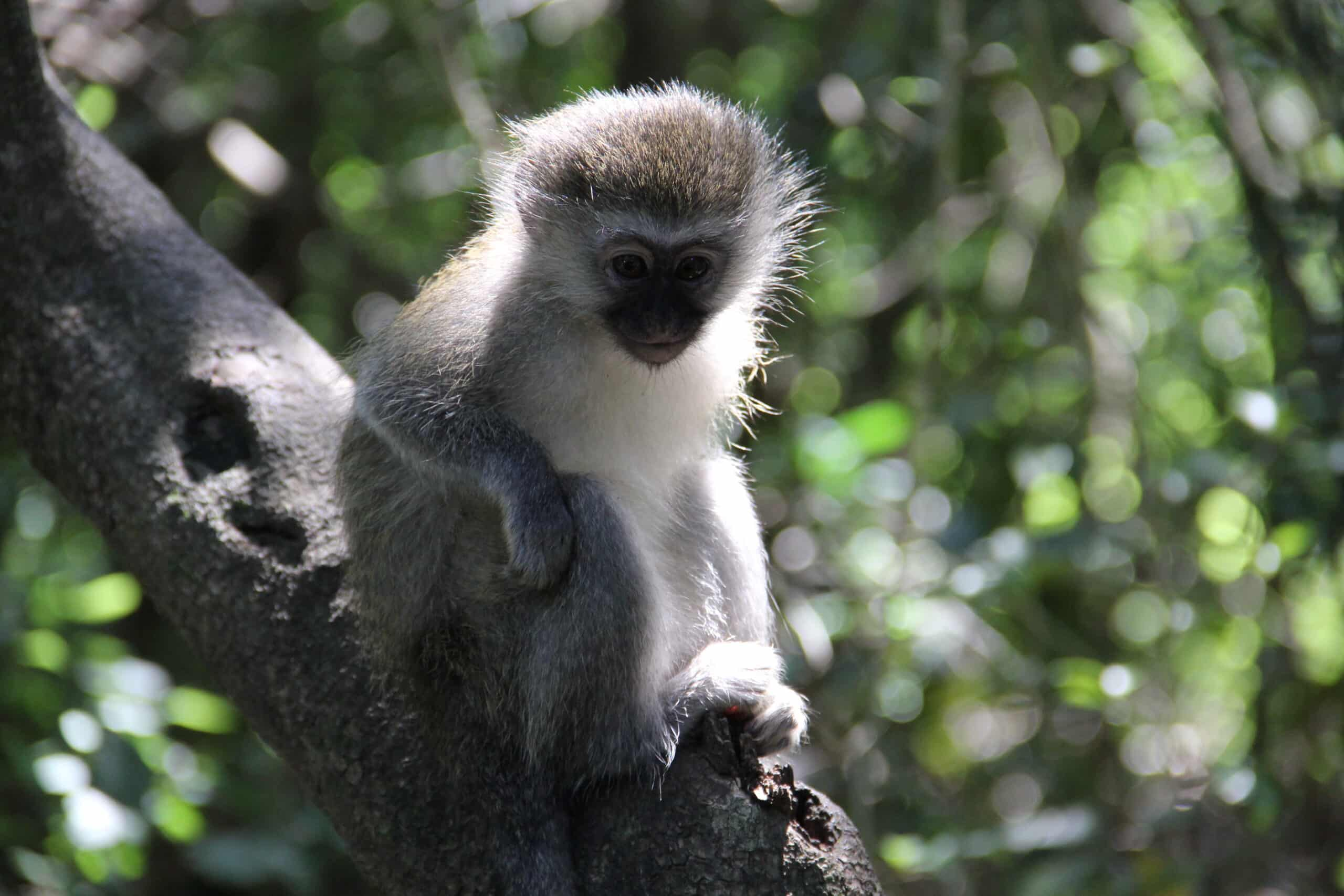 Macaco da reserva ambiental em Plettenberg Bay