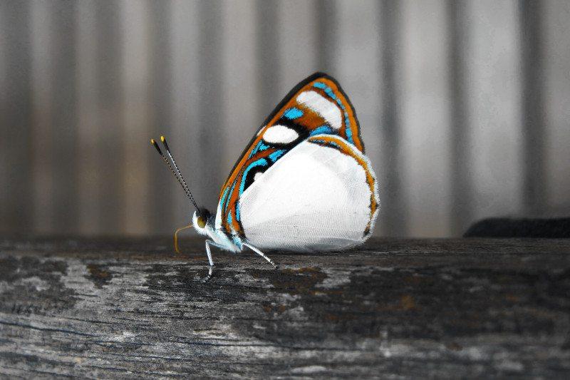 borboleta nas cataratas do Iguaçu