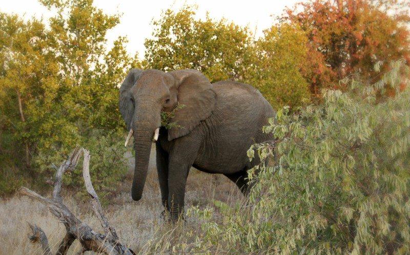 elefante africa do sul