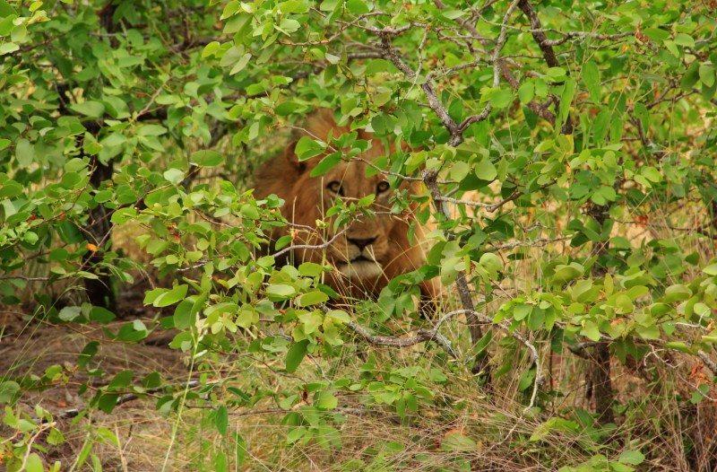 leão no Kruger National Park africa do sul