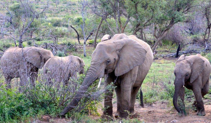 manada de elefantes africa do sul
