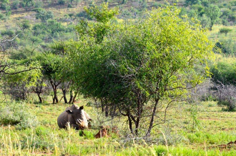 rinoceronte áfrica do sul