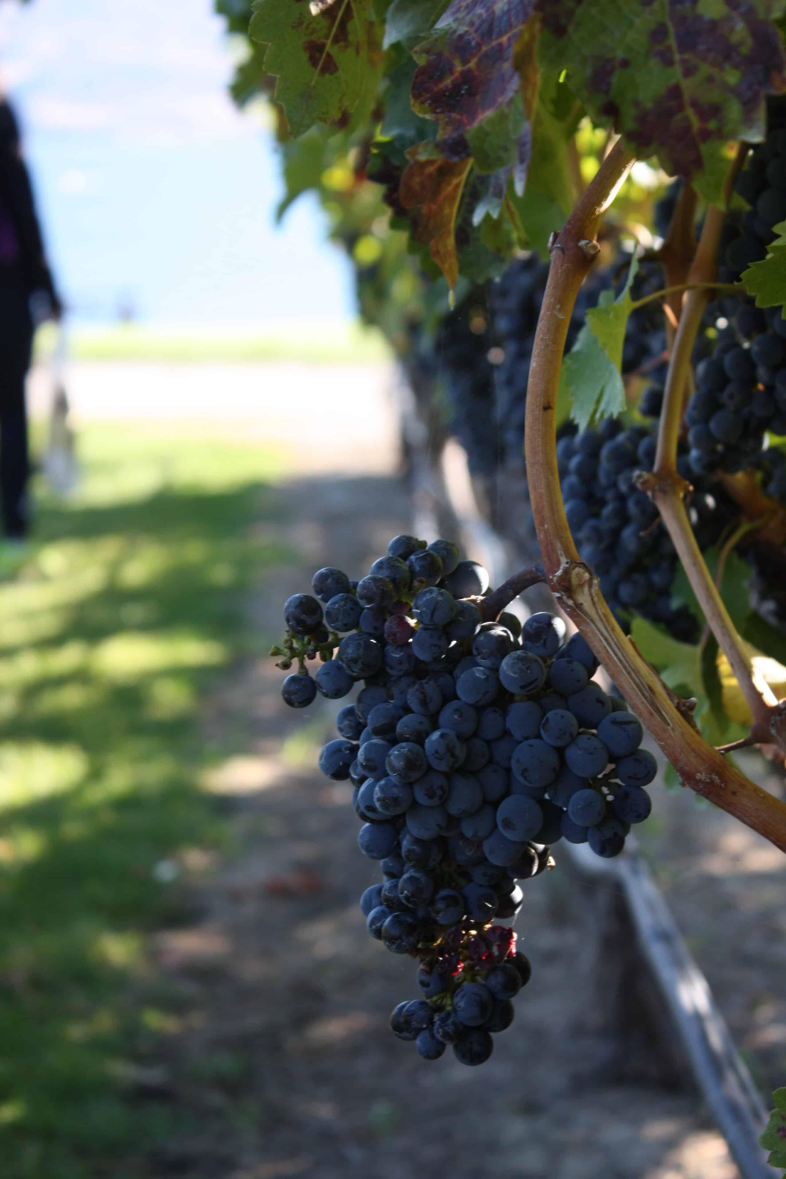 Rota do Vinho - Vinhedo Quails' Gate Winery. Foto: Flávio Antunes
