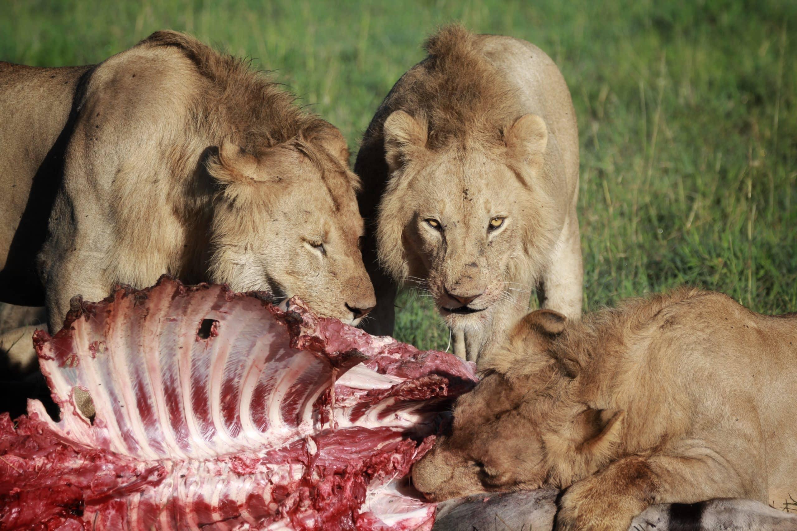 Leões durante o Safari no Serengeti na Tanzania