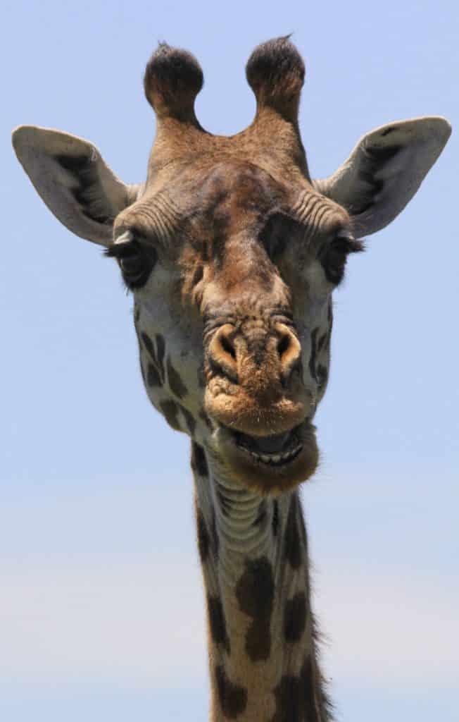 Girafa no Serengeti durante o Safari na Tanzânia