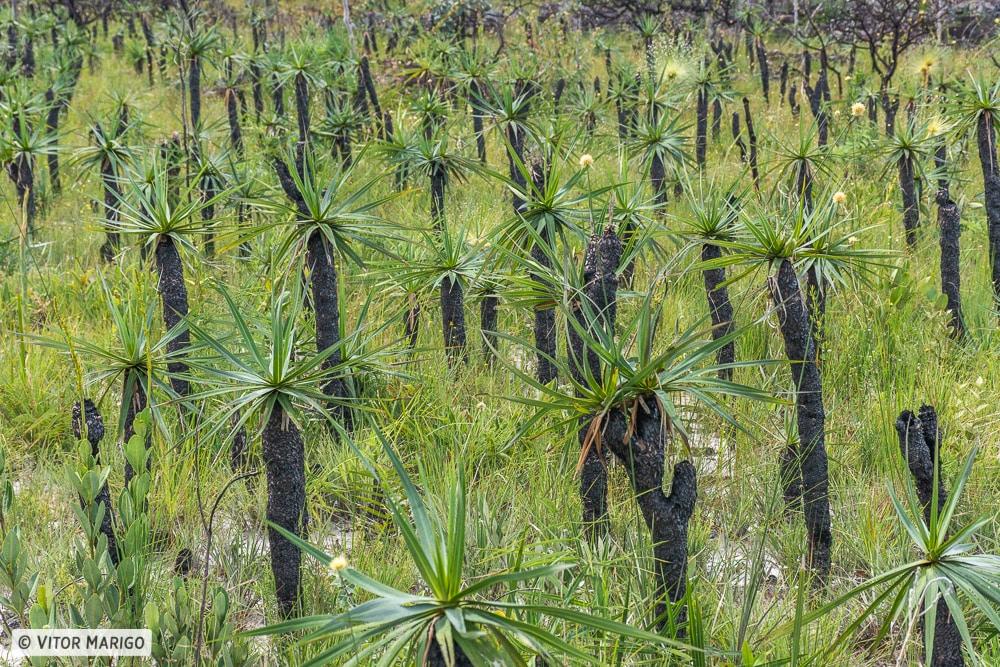 vegetação do Cerrado na Chapada dos Veadeiros e Goiás