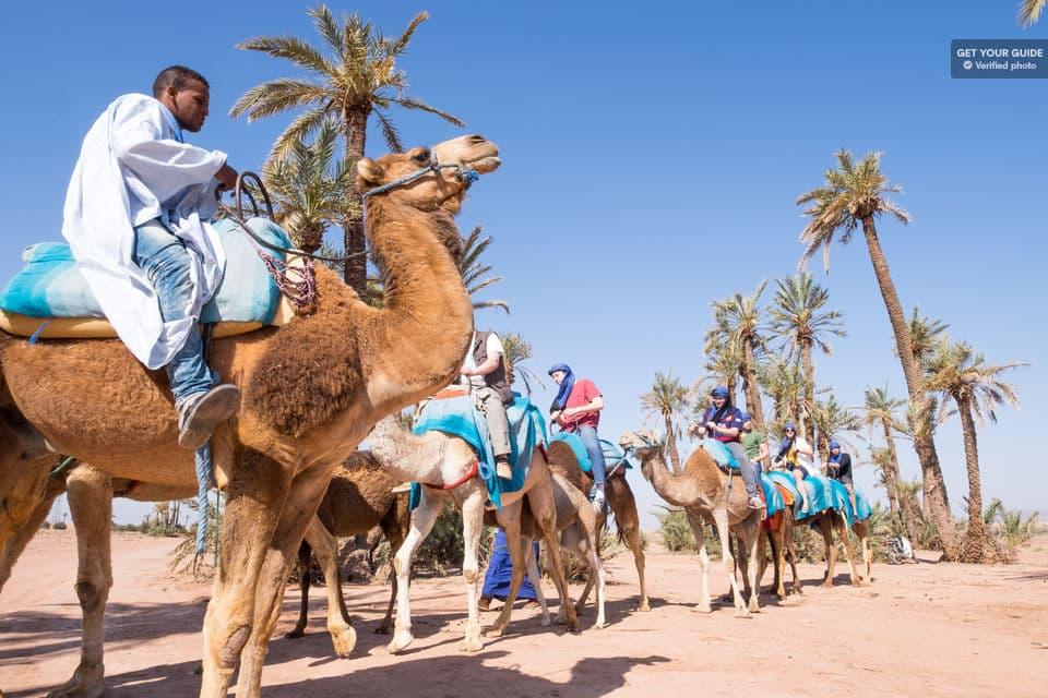 Passeio de  dromedário do Palmeiral de Marrakech, Marrocos