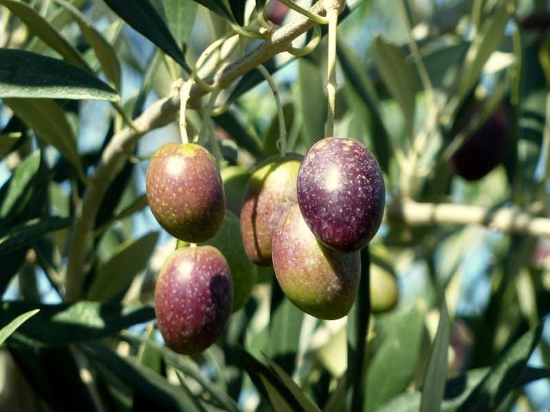 Em foto, vemos cinco frutos de oliveira de tons escuros, com fundo verde. Ao fundo existem azeitonas totalmente verdes e folhas da árvore. Foto: Jorge Gobbi via Flickr.