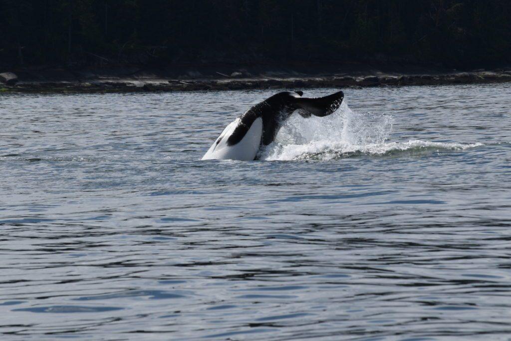 Olha ela aí dando o ar da graça! Uma baleias Orcas na Ilha de Vancouve - Foto: Virginia Falanghe