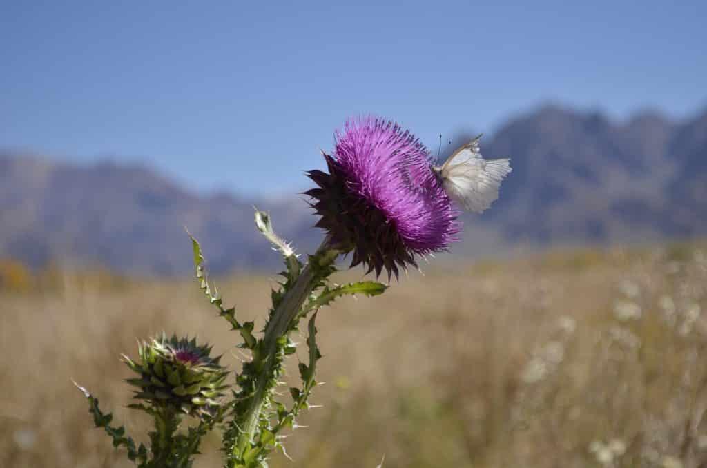 Na imagem vê-se uma flor de coloração roxa/lilás, com um caule grosso e verde. Há uma borboleta branca pousada nos filamentos de petálas da flor. Ao fundo, a paisagem de Uspallata, próximo de Mendoza. Foto de Pablo Vargar via Pixabay.