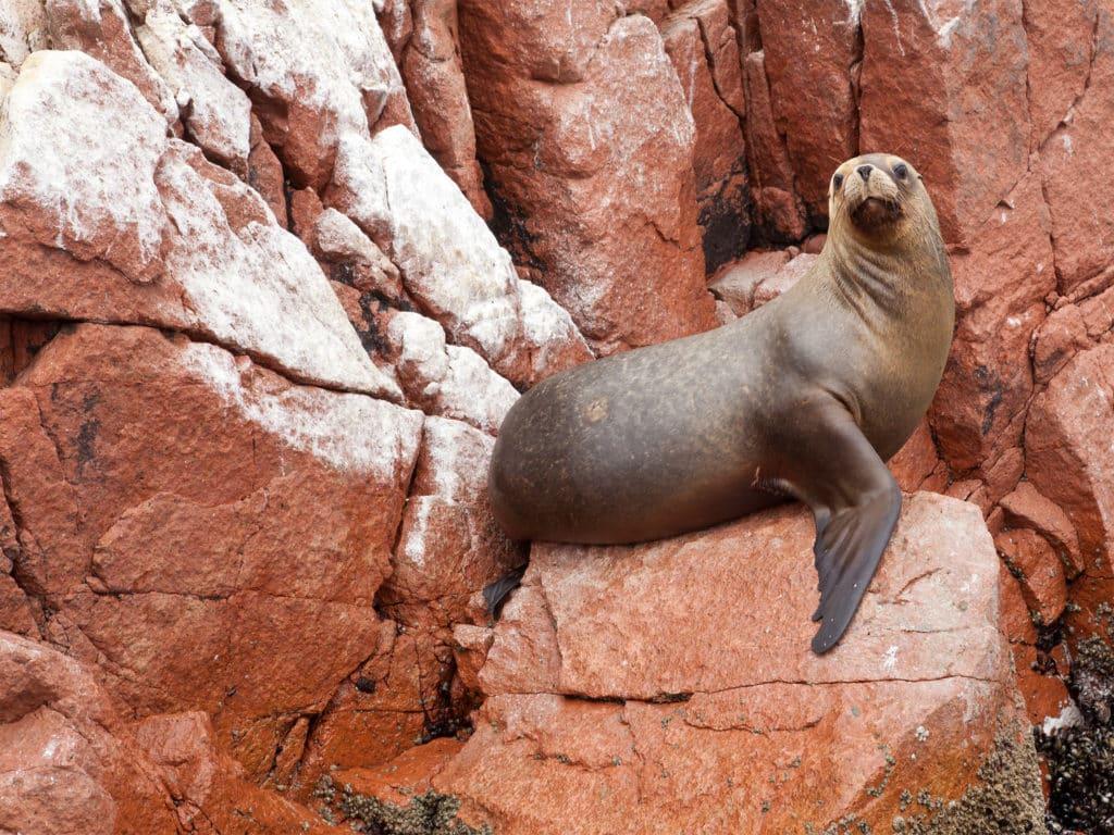 Leão marinho sobre pedras das ilhas Ballestas, uma opção de o que fazer em Lima e arredores.