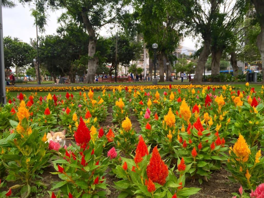 Flores em meio ao gramado do Parque Kennedy, ou Parque Central de Miraflores, com gato descansando. Opção de o que fazer em Lima.