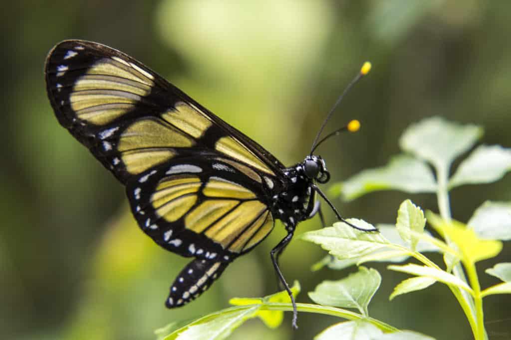 Foto de borboleta amarela no Borboletário Flores que Voam. Foto: Vi Neves via Flickr