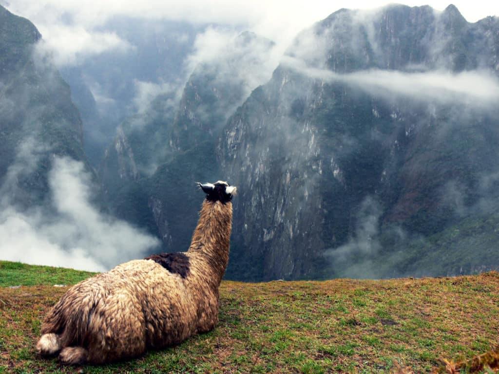 Lhama no alto de uma montanha, observando cordilheira andina.
