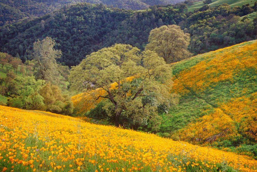 Foto de campos floridos em Amador County, na região de Gold Country California