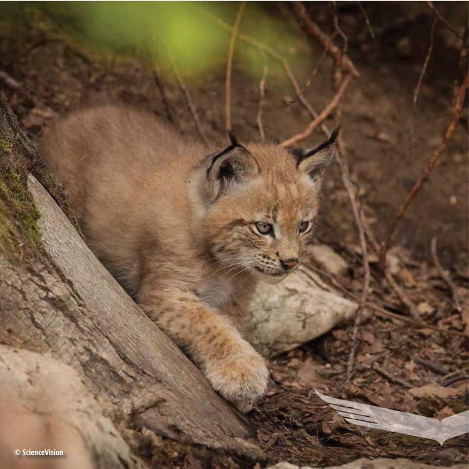 Se tiver sorte, você pode encontrar um lynx no Kalkalpen