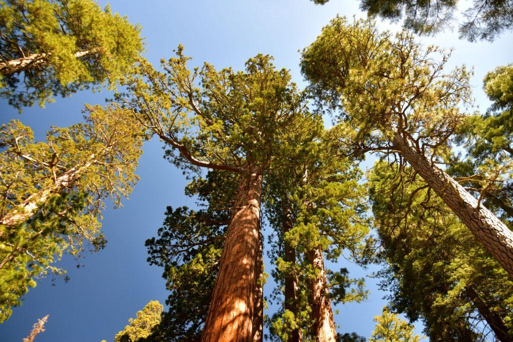 Foto das árvores chamadas sequoias gigantes vistas de baixo para cima