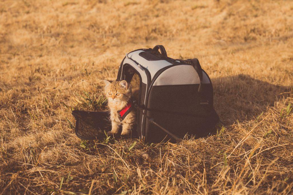 Foto de gato saindo de bolsa usada para transporte de animais de estimação em viagens de avião