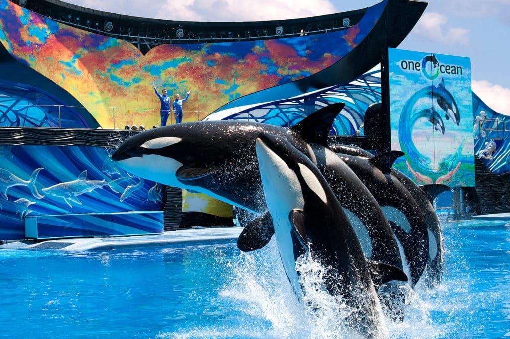 Baleias orcas pulando para fora da água em sincronia, com dois treinadores ao fundo acenando, durante show One Ocean no SeaWorld Orlando