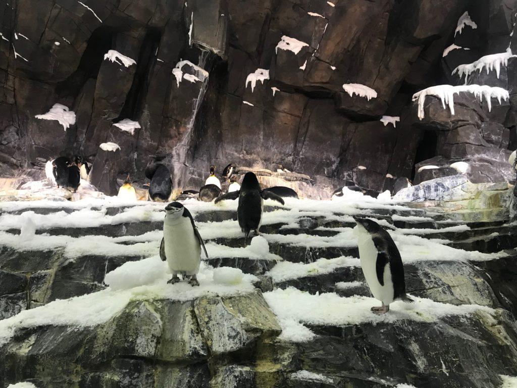 Pinguins em ambiente climatizado como se fosse o habitat natural deles, em espaço do SeaWorld Orlando