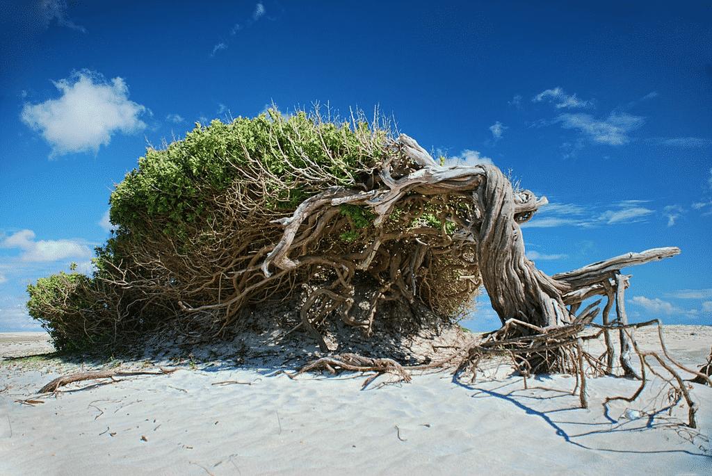 """Foto da Árvore da Preguiça, em Jericoacoara, fenômeno que deixou a árvore """"deitada"""" por conta dos fortes ventos no local"""