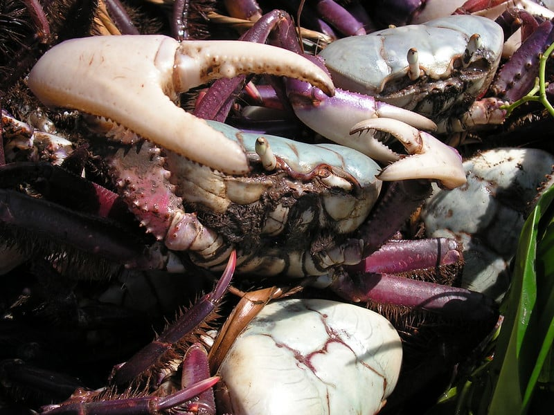 Caranguejo sobre outros crustáceos da mesma espécie, pescado no Delta do Parnaíba - Piauí