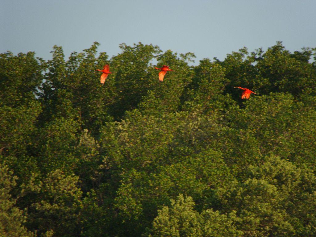 Foto de três pássaros Guará voando em meio à mata, na região do Delta do Parnaíba