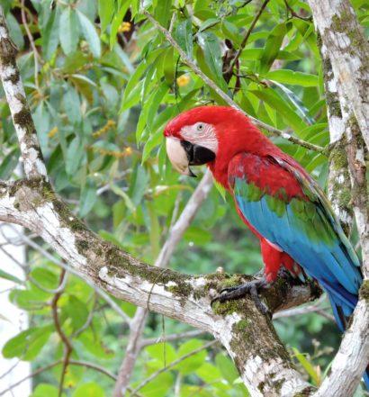 Arara no Amazonas