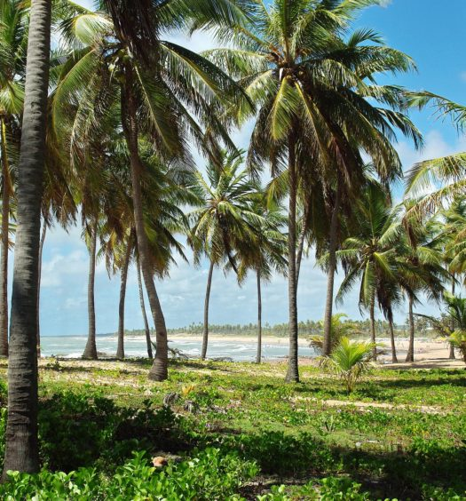 Árvores Pau Brasil na Costa do Sauípe