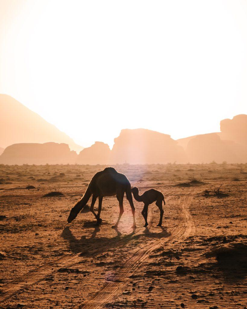 Camelo e filhote em deserto da Jordânia
