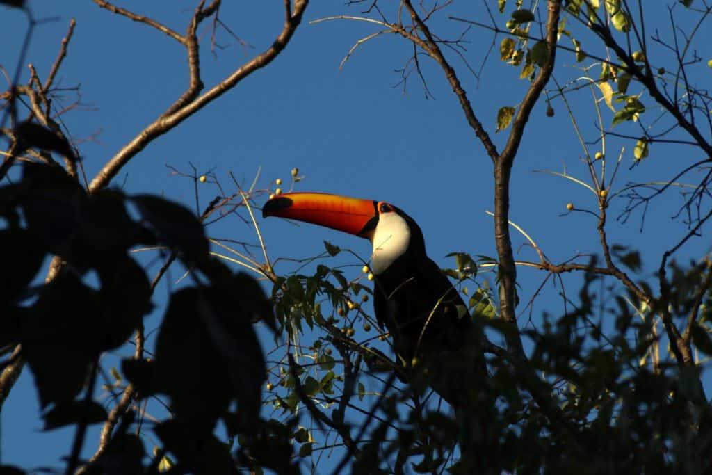 Tucanos em alto paraíso de goiás