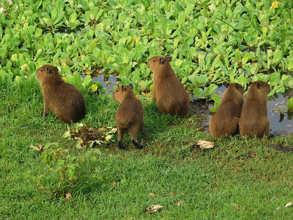 Filhotes de capivara no Mato Grosso do Sul