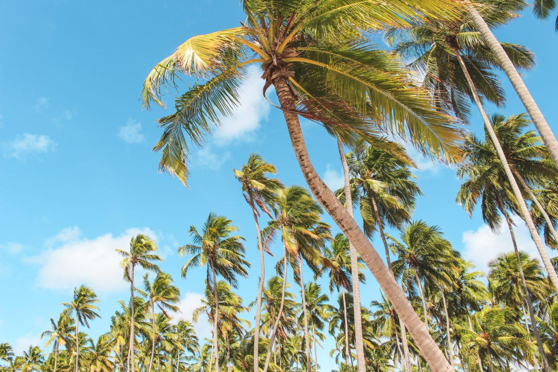 Palmeiras na Praia dos Carneiros