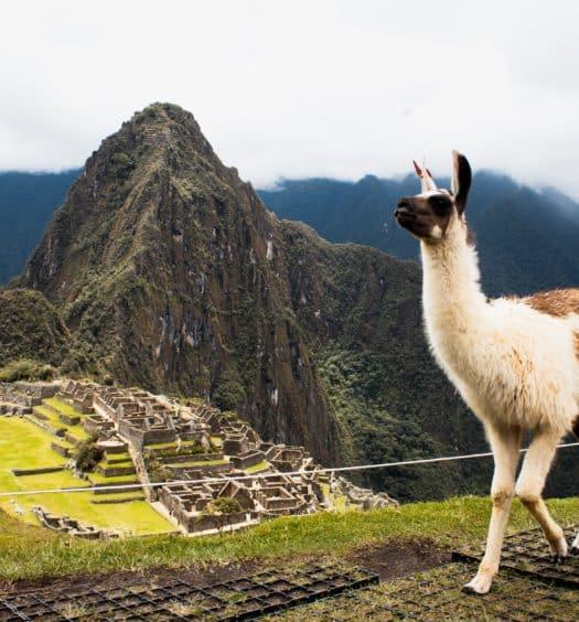 Lhama em Machu Picchu, no Peru