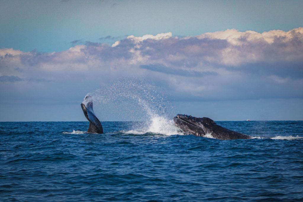 É possível fazer um tour de observação de baleias na costa litorânea de Puerto Vallarta