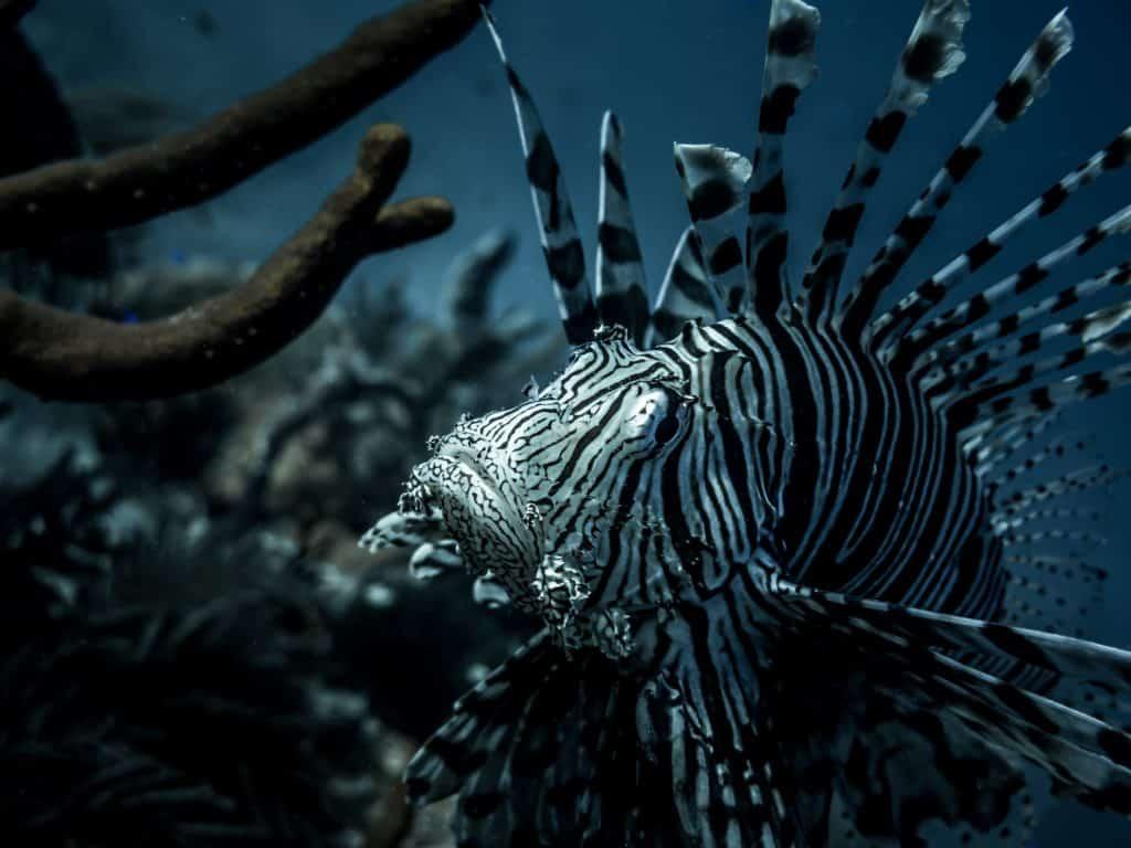 peixe leão nas ilhas turcas e caicos