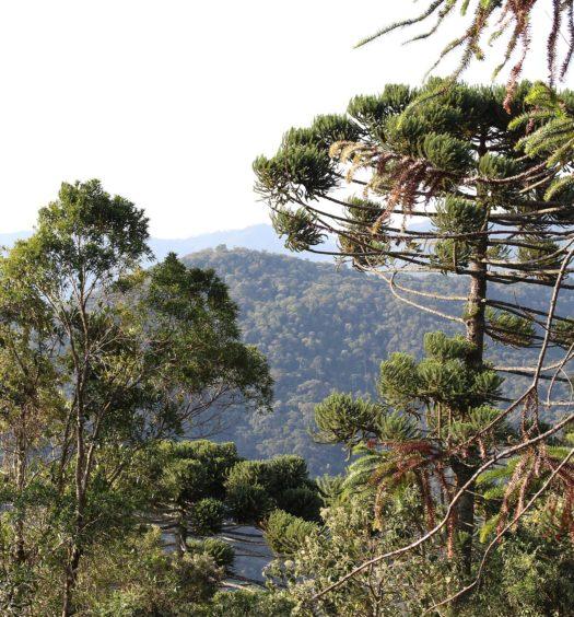 Araucárias, típicas da Serra da Mantiqueira, em Santo Antônio do Pinhal