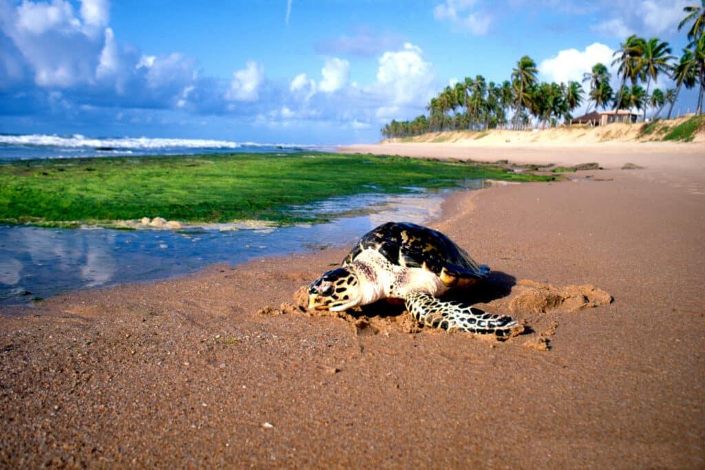 Tartaruga na Praia do Forte