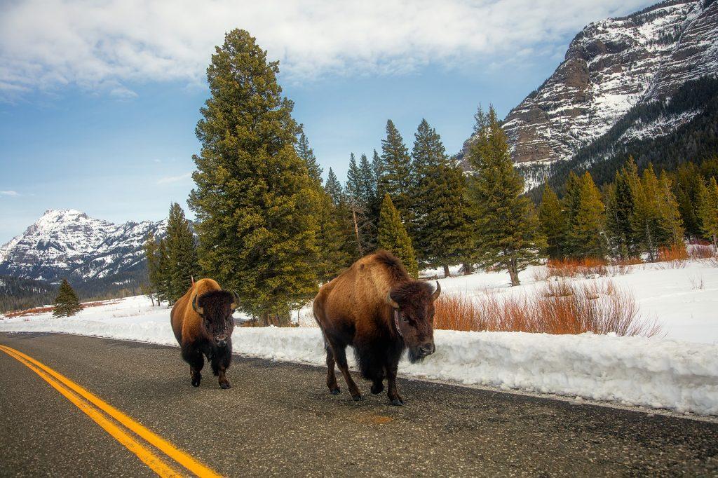búfalos na estarda de yellowstone