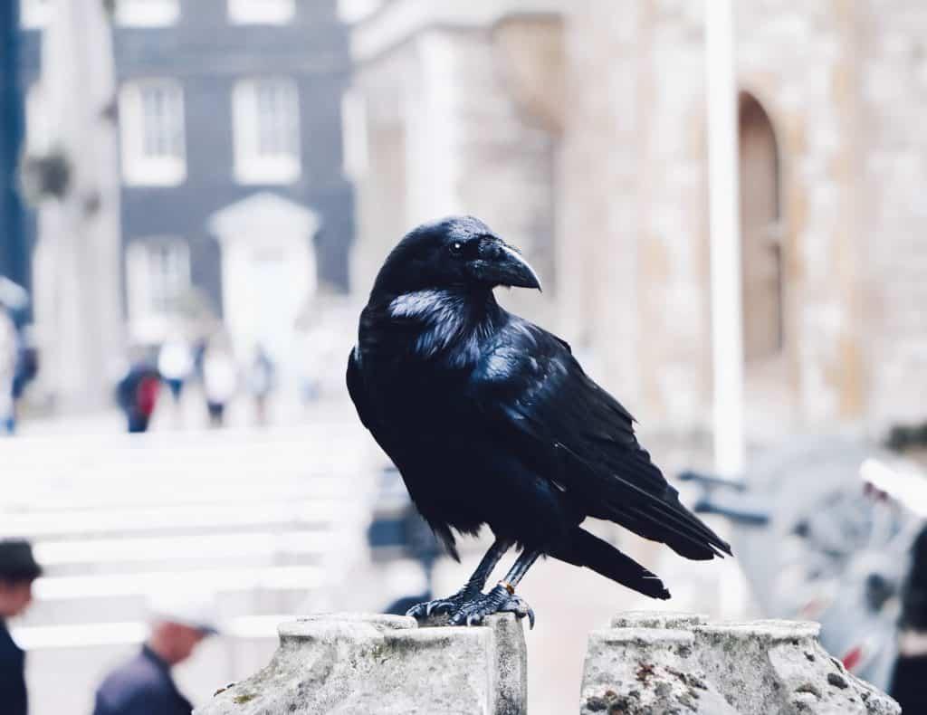 Corvo preto, animal preservado e mantido na Torre de Londres